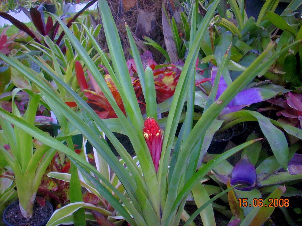 bromeliad photo